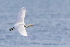 Cattle Egret (Michael R Hayes) Tags: cattleegret egret white water flying inflight bird widlife nature