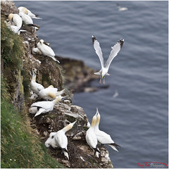 Nest Raider TE_L7Q8203 (See following shot sequence) (The Terry Eve Archive) Tags: gannet guga gull herringgull predditor rspbtrouphead naturereserve moraycoast aberdeenshire clifftop colony terryevephotography