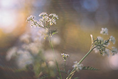 rays of light (Das StadtKind) Tags: plant pflanze sonyilce7 sonya7 sony a7 helios442 f2 258 bokeh bokehlicious dof depthoffield kempten bavaria germany europe flickr stadtkind vintagelens manuallens primelens flowers fleur flores petals blume blte sunset sunshine sunbeams sunrays raysoflight