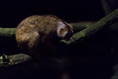 Slow Loris (tik_tok) Tags: singapore singaporezoo nightsafari asia animal night