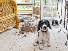 (Snowbrushy) Tags: pets puppy younganimal twoanimals reconciliation wicker cute springerspaniel cockerspaniel spaniel dog conservatorysunroom playing playful mischief fun sadness rudeness chaos messy dirty animal dirt flooring house homeinterior berate woeful