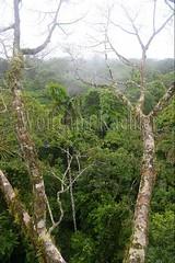 60071606 (wolfgangkaehler) Tags: 2016 southamerica southamerican ecuador ecuadorian latinamerica latinamerican rionapo rionapoecuador rionaporiver rainforest coca cocaecuador laselvalodge observationtower tower rainforestcanopy epiphyticplants epiphyte epiphytes trees