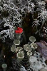 A spot of red (liisatuulia) Tags: porkkala torvijkl inthewoods cladonia red gray macro