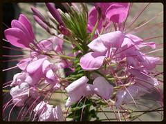 Summer Memory (Melinda Stuart) Tags: pink spider flower summer cleome spikes