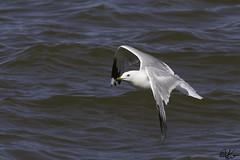 Ring-Billed Gull_0153 (Kerry. Williams - Amateur) Tags: ringbilledgull gulls lakewinnipeg manitoba
