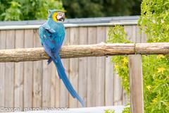 DSC_2323 (Pascal Gianoli) Tags: perroquet beauval bird oiseau parrot zoo zooparc saintaignansurcher centrevaldeloire france fr pascal gianoli pascalgianoli