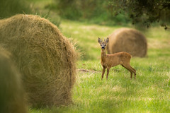 Ambiance Champêtre (regisfiacre) Tags: chevreuil roe deer brocard nature proxi meadow prairie canon 100400mm animal wild wildlife sauvage capreolus
