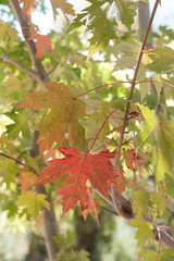 Autumn Leaves (LisaDiazPhotos) Tags: autumn leaves oak glen nature fall