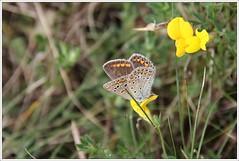 Bluling (Lycaenidae) (Maggi_94) Tags: bluling blulinge lycaenidae female weibchen schmetterlinge schmetterling lepidoptera tagfalter