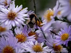 Le bourdon sur les Asters (Barnie76@ , on) Tags: asters fleurs flowers bourdon normandie montmain nature