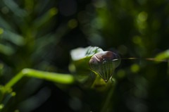 Fire In His Eyes (TNMYcFan182) Tags: color macro macrophotography bugs prayingmantis mantis nikon nikkorlens nikond7000 d7000