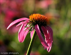 I spent a lot of money on booze, birds, and fast cars... (itucker, thanks for 2.4+ million views!) Tags: macro bokeh hbw raulstonarboretum echinacea coneflower