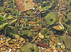 Ribbon Snake (U.S. Fish and Wildlife Service - Midwest Region) Tags: snake snakes ribbonsnake water swimming missouri mo summer fall september neosho nfh hatchery nationalfishhatchery wildlife nature animals
