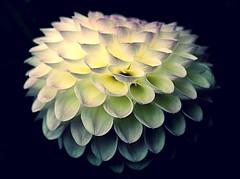 Autumn Equinox (SteveJM2009) Tags: mabon autumn equinox wheeloftheyear solstice dahlia flower beauty sun light dof focus bokeh colour petals shape texture bloom avebury wilts wiltshire uk september 2016 stevemaskell