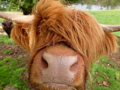 Hairy Coo, nr Applecross (celtic light) Tags: celticlight scotland northcoast500 highlandcattle cow bullock nc500