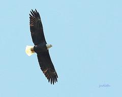soaring high (judecat (back with the pride)) Tags: birdinflight nature wildlife pennsylvaniawildlife americanbaldeagle peacevalleypark