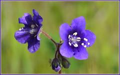 Desert Bluebells (tdlucas5000) Tags: california macro bluebells desert bokeh canyon malibu wildflowers phacelia campanularia