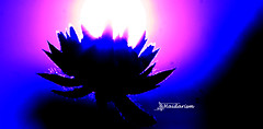 Embracing the Sun (haidarism (Ahmed Alhaidari)) Tags: light sun flower macro art nature artistic creative creation create embrace macrophotography