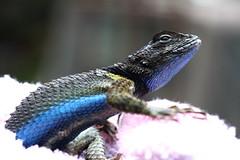 Urosaurus Graciosus (Ajenjonadita) Tags: blue azul colores lizard colored lagartija urosaurusgraciosus