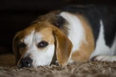 Dixie Beagle (mark.abrams81) Tags: dog beagle