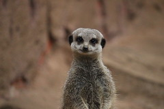 Smiling Meerkat (eleanor.hirst) Tags: animals zoo meerkat chesterzoo