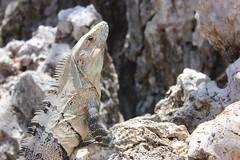 Garrobo Albino (Alex Corella Q) Tags: costa rica iguana garrobo