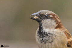 House sparrow (Thomas Winstone) Tags: uk trees wild sky sun cold bird nature birds southwales canon wildlife air feathers aves breconbeacons bbc housesparrow oiseau avian brynmawr sping birdwatcher canon300mmf28 goldwildlife distinguishedpictures birdperfect canon7dmark2