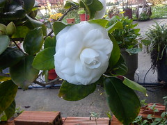 ! DSC03650 (amalia_mar) Tags: flowers white garden greece   sonyericssone10i
