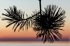 thorny sunset (kirill3.14) Tags: trees sunset sea beach water spring gulf coniferous sosnovybor