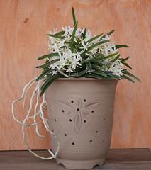 Vandachostylis Pinky (cieneguitan) Tags: lan bunga orkid neofinetia okid angrek anggerek