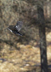 "Woodpecker in flight 4 • <a style=""font-size:0.8em;"" href=""http://www.flickr.com/photos/30765416@N06/16882364856/"" target=""_blank"">View on Flickr</a>"