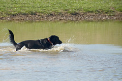 Into the deep. (kevin33040) Tags: park urban rescue dog lake playing nature water swimming swim outdoors mix pond nikon lab play tn shepherd memphis tennessee canine shelby farms nikkor k9 greenspace d7000