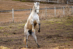 Kye playing (d315thedeity) Tags: horse animal spring play equine