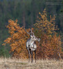 Rendier / Reindeer (photovansoest | nature & wildlife photography) Tags: autumn finland reindeer mammal herfst scandinavia mammals rendier 2011 scandinavië zoogdier zoogdieren