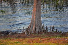 Cypress tree / knees, Florida, Winter Haven (EC Leatherberry) Tags: tree florida cypress polkcounty baldcypress cypressknees taxodiumdistichum