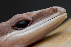 Aeluroscalabotes felinus IMG_7964 copy (Kurt (OrionHerpAdventure.com)) Tags: reptile lizard gecko reptiles herps herpetology reptilia reptilian herpetofauna tropicalreptiles aeluroscalabotesfelinus catgecko aeluroscalabotes tropicallizards