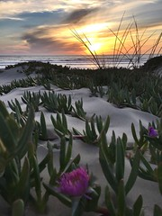 Ice plants Oceano,Ca (miss_picture_this) Tags: california sunset pacificocean oceano oceanodunes iceplants