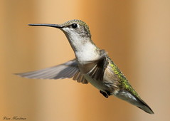 Ruby Throated (Diane Marshman) Tags: summer white motion black green bird nature flying wings long breast hummingbird action head pennsylvania wildlife chest tail small flight beak feathers pa upper spotted ruby throat northeast juvenile hovering throated