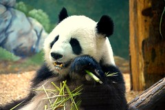Panda chewing (Krasivaya Liza) Tags: zoo atl atlanta ga georgia animal animals city urban nature natural park zoological