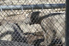 Polar Bear Cubs - 3 4K Vide (Bucky-D) Tags: zoo winnipeg polarbear cubs assiniboinepark fz1000