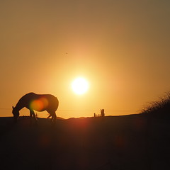 Wild Horses (Raccoon Photo) Tags: light sunset wild summer sky horses horse sun beach nature beautiful animal animals silhouette freedom shadows sundown natural outdoor handsome free northcarolina nagshead shore strong strength sands naturalbeauty wildhorses obx noble wildhorse beautifulcreature horsesilhouette wildandfree horsesunset beautifulhorse americanhorse noblehorse summerhorse horseinsunset wildhorseonbeach wildhorsesnorthcarolina wildhorseocean wildhorsesun wildhorseusa