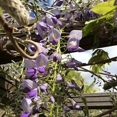 Blauwe regen (Dimormar!) Tags: garden spring tuin lente voorjaar blauweregen