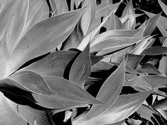 """Monogave"" (OffdaLipp) Tags: leica plant agave suculent attenuata offdalipp vlux114"