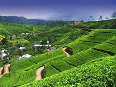W9-1024x768 (tyronnesilva) Tags: mountain tree landscape tea teaestate