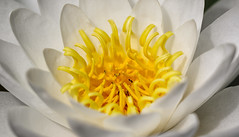A Bright Shine (AnyMotion) Tags: flowers summer plants white macro floral colors petals colours waterlily estate blossom frankfurt sommer center zomer verano t makro blte mitte farben 2016 botanischergarten weis makroaufnahmen anymotion nymphaeaalba 7d2 europeanwhitewaterlily weiseseerose canoneos7dmarkii