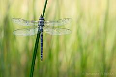 Aeschne bleue (Aeshna cyanea) ? (Fernando.P.Photo) Tags: dragonfly faune libellule macro nature proxy rosée flickrunitedaward