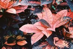 (.Kaisu.) Tags: asahipentaxspotmatic asahipentaxspotmaticspii analogue pentax spotmatic spii supertakumar supertakumar3535 vintageanalogue kodak kodakektar100 estonia 35mm 3535 ektar m42 botanicalgardens