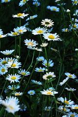 Daisies (tomcanon68) Tags: flower nature canon dasies canon100mmmacro canon40d canon100mm28ismacro