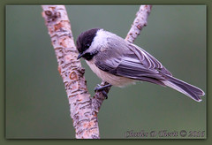 Black-capped Chickadee (ctofcsco) Tags: 11250 1d 1div 25mmextensiontube 45 560mm atrest beautiful bird blackcapped canon chickadee closeup colorado coloradosprings ef25 ef400mmf28liiusm14x eos1d eos1dmarkiv explore extender extender14x extender14xii extenderef14x extenderef14xii extensiontube photo pic picture supertelephoto teleconverter bokeh explored geo:lat=3893083779 geo:lon=10489145279 geotagged gleneyrie nature northamerica telephoto wildlife tiny unitedstates usa