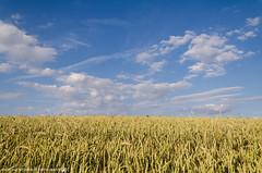 A beautiful Evening in the grain Fields. (andreasheinrich) Tags: summer germany landscape deutschland warm sommer grain felder july windy sunny fields juli sonnig landschaft korn badenwrttemberg windig neckarsulm dahenfeld nikond7000